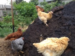 chickens checking out the new layer of compost